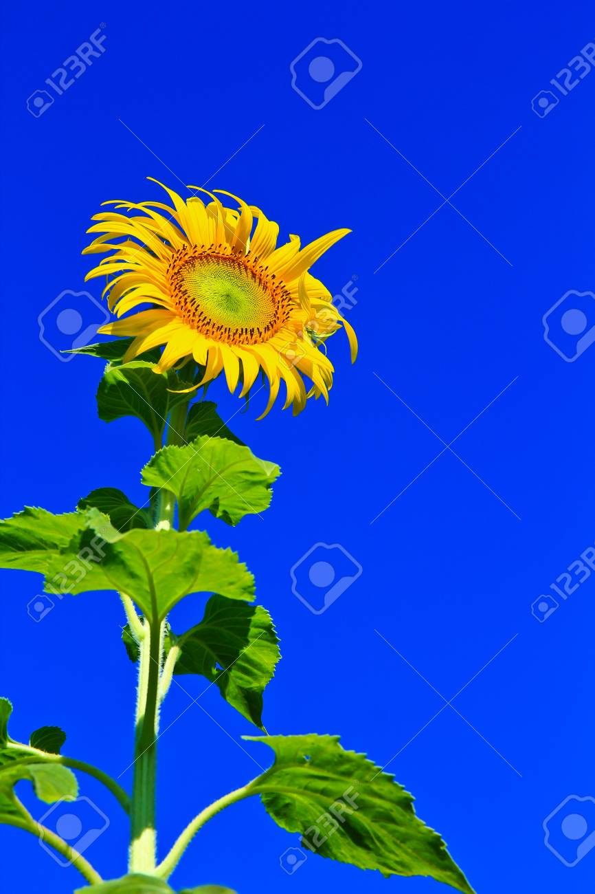Sunflower at Lopburi in Thailand Stock Photo - 12230447