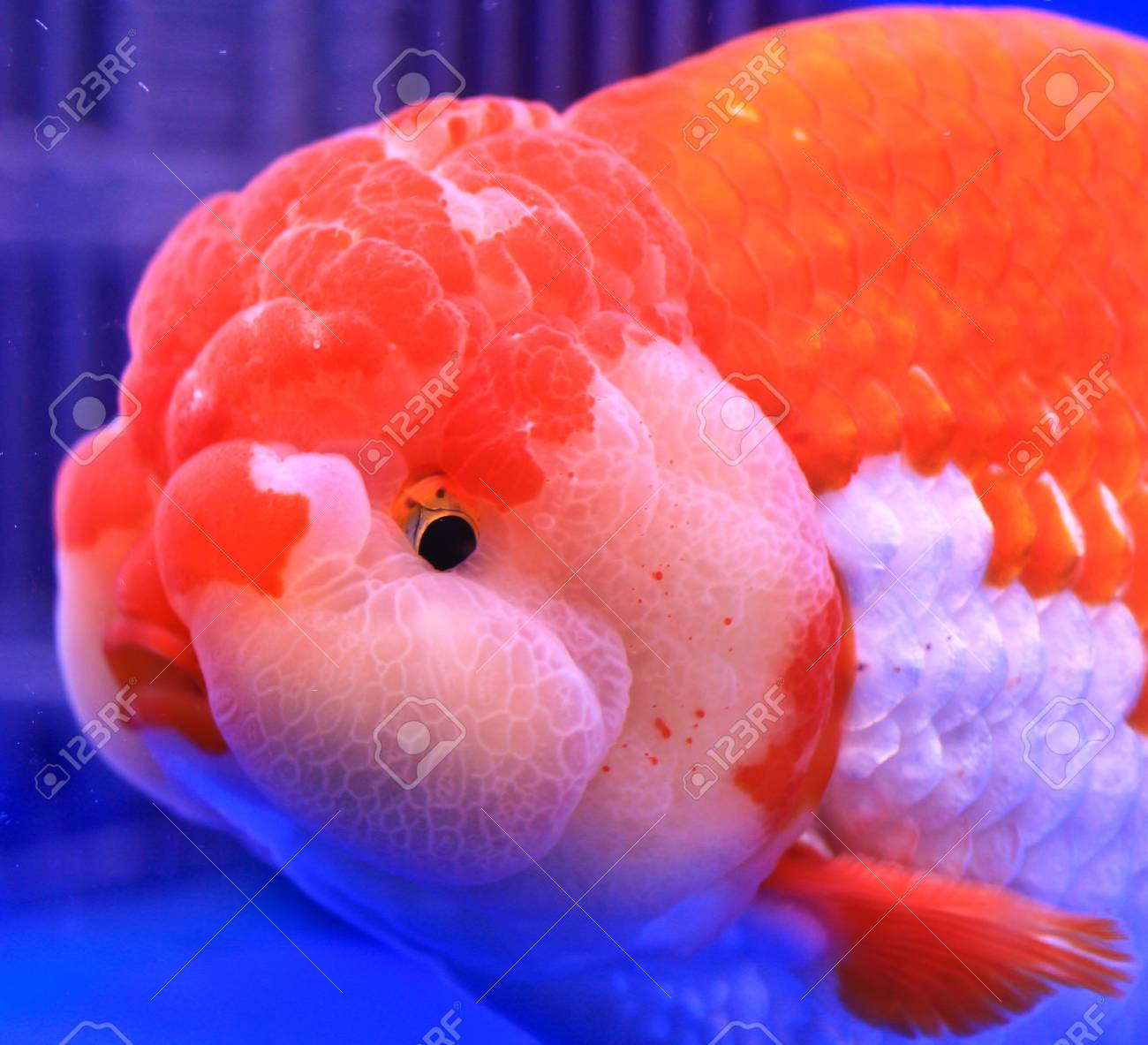 Fish in the aquarium glass Stock Photo - 13695396