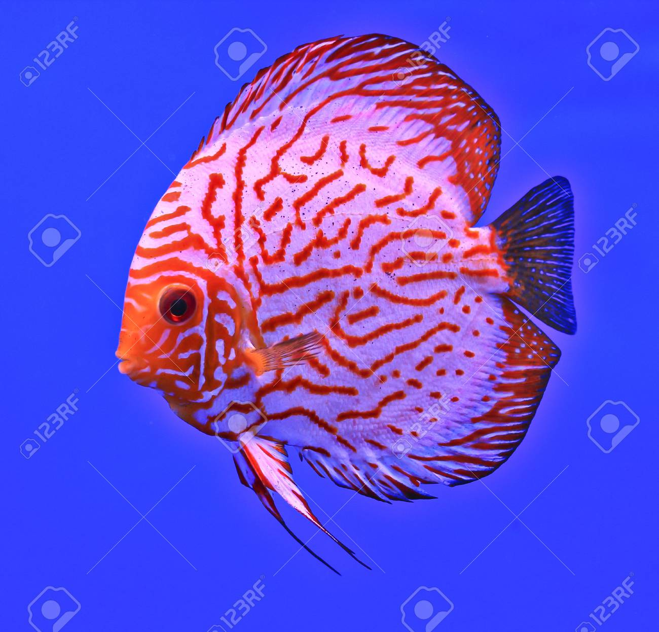 Fish in the aquarium glass Stock Photo - 13695788