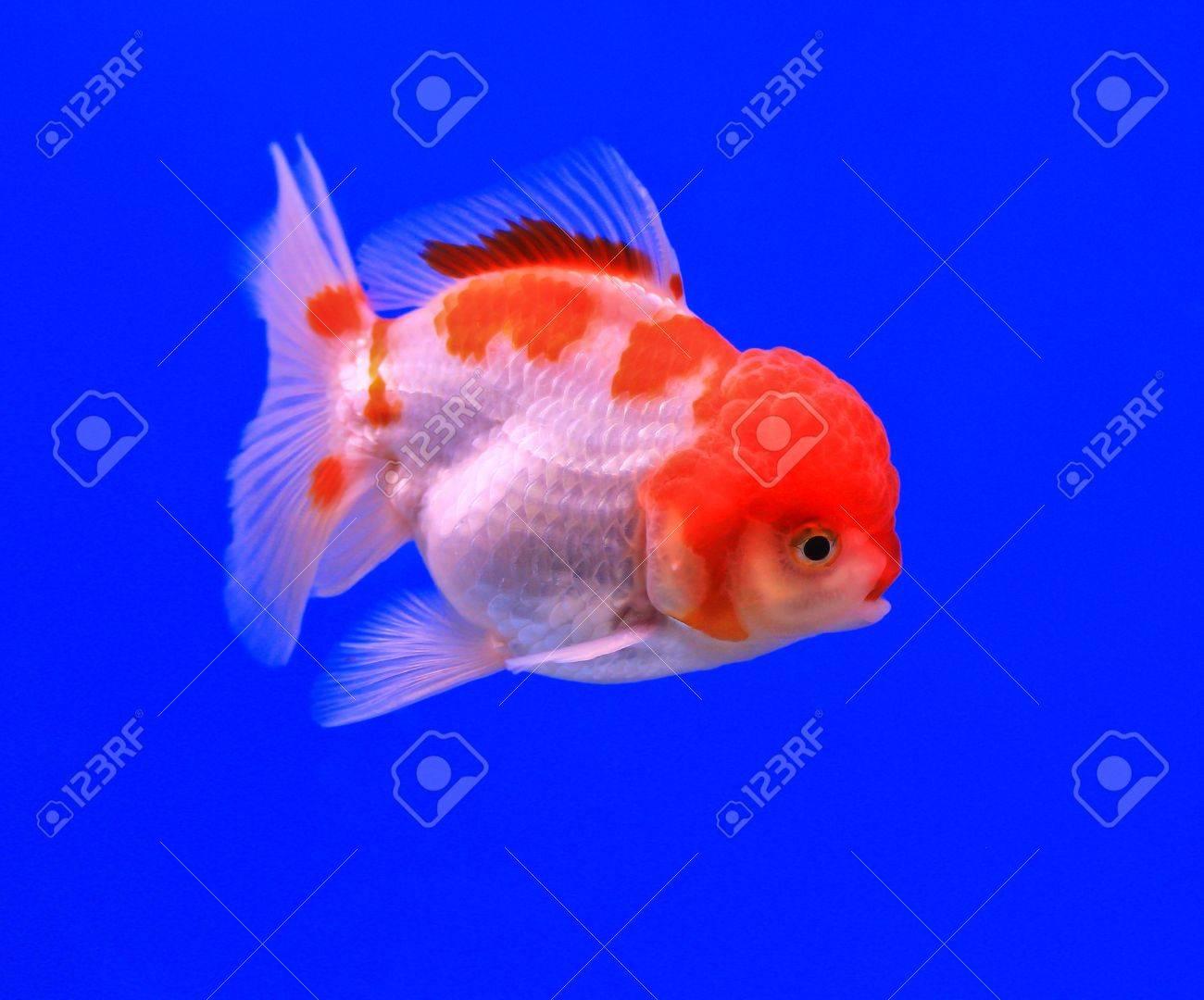 Fish in the aquarium glass Stock Photo - 13695681