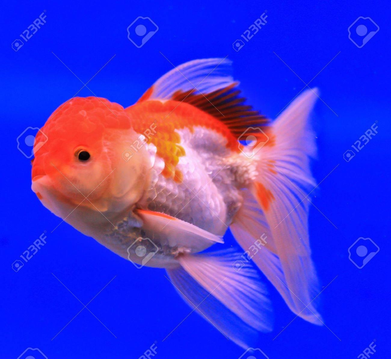 Fish in the aquarium glass Stock Photo - 13695466