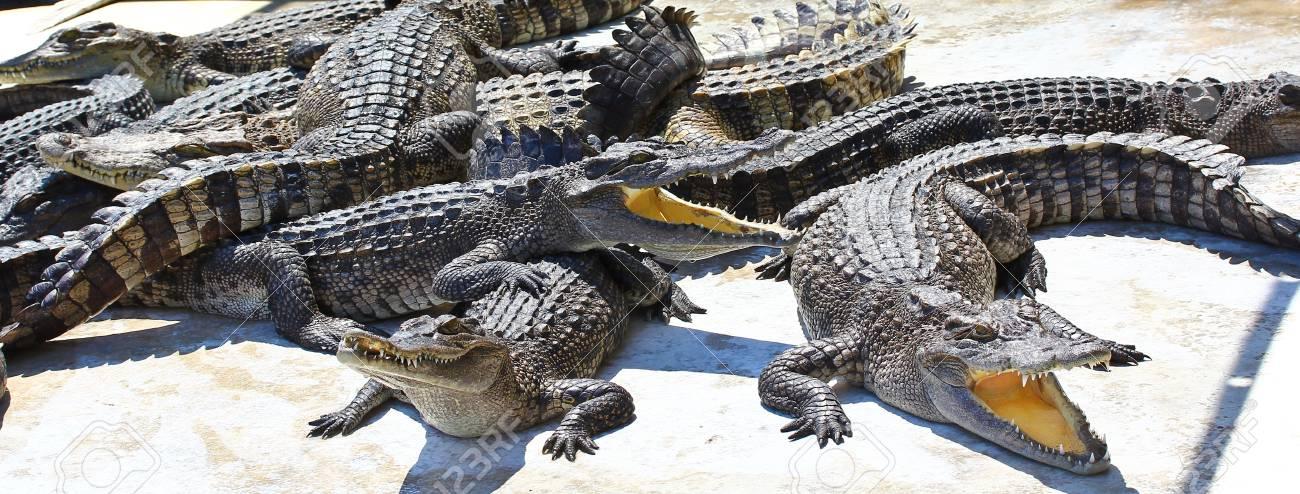 crocodile Stock Photo - 15188527