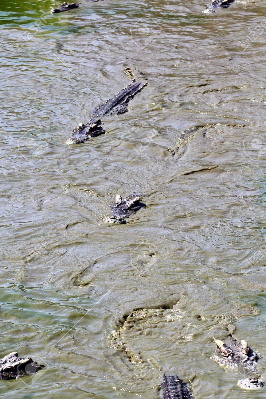 crocodile Stock Photo - 15188708