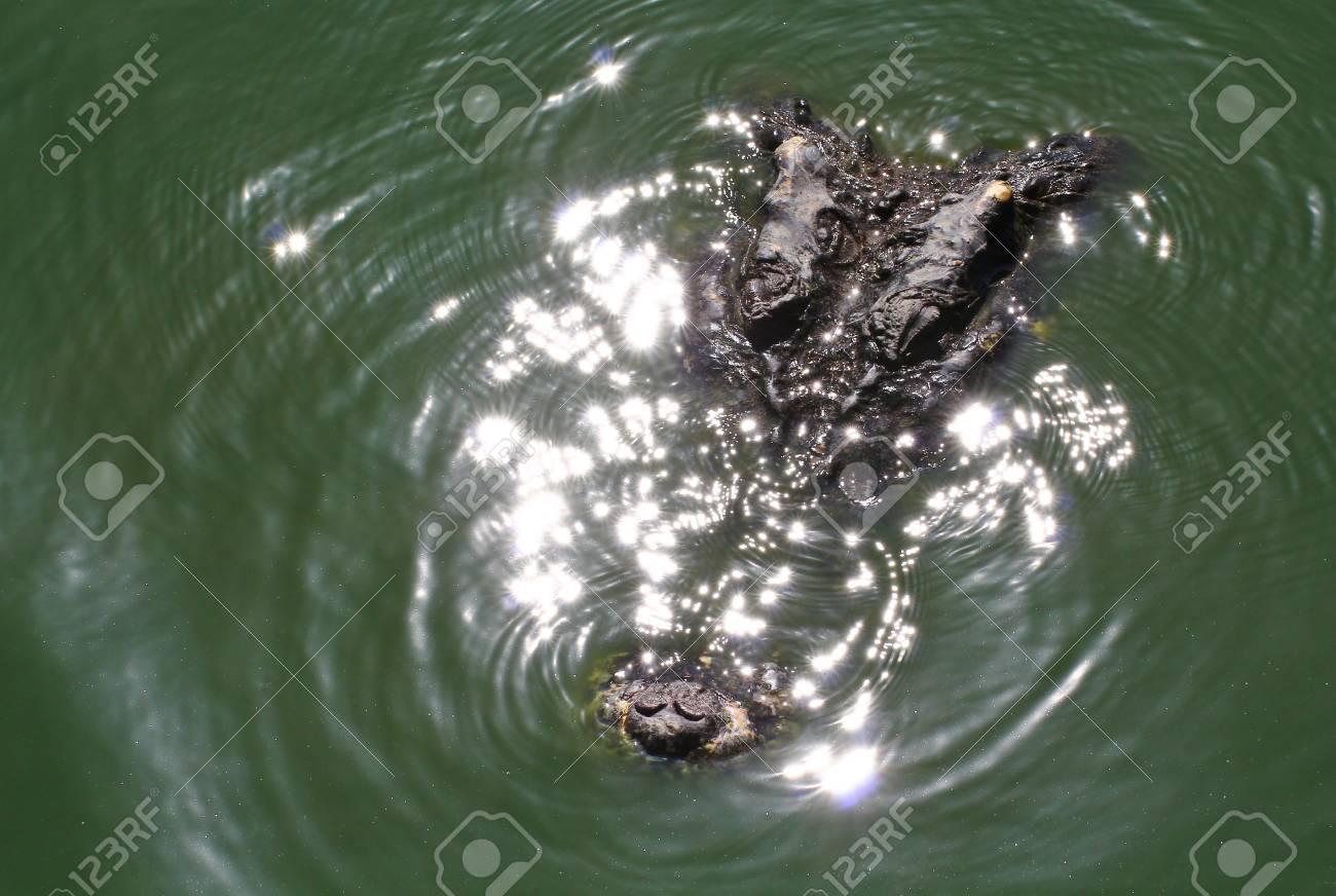 crocodile Stock Photo - 15188551