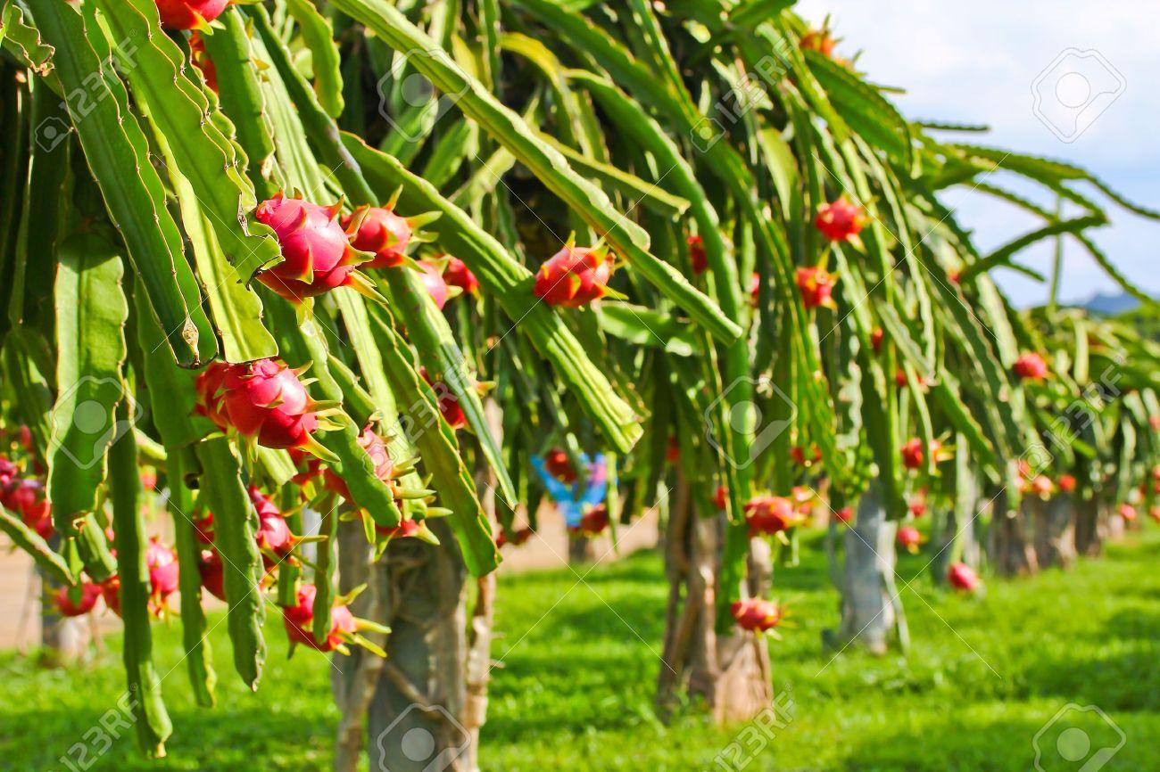 dragon fruit in garden Stock Photo - 14885051