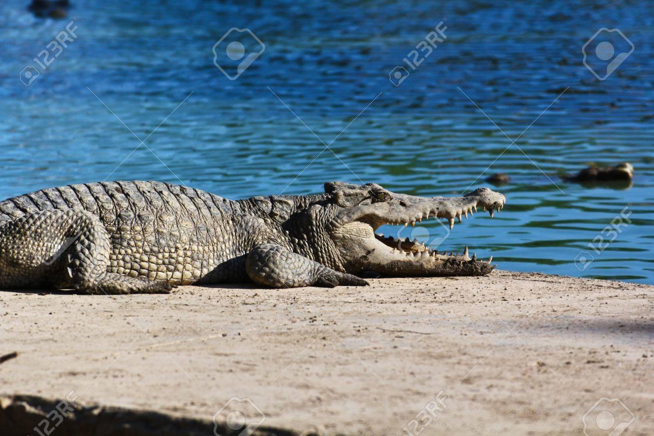 crocodile Stock Photo - 16152446