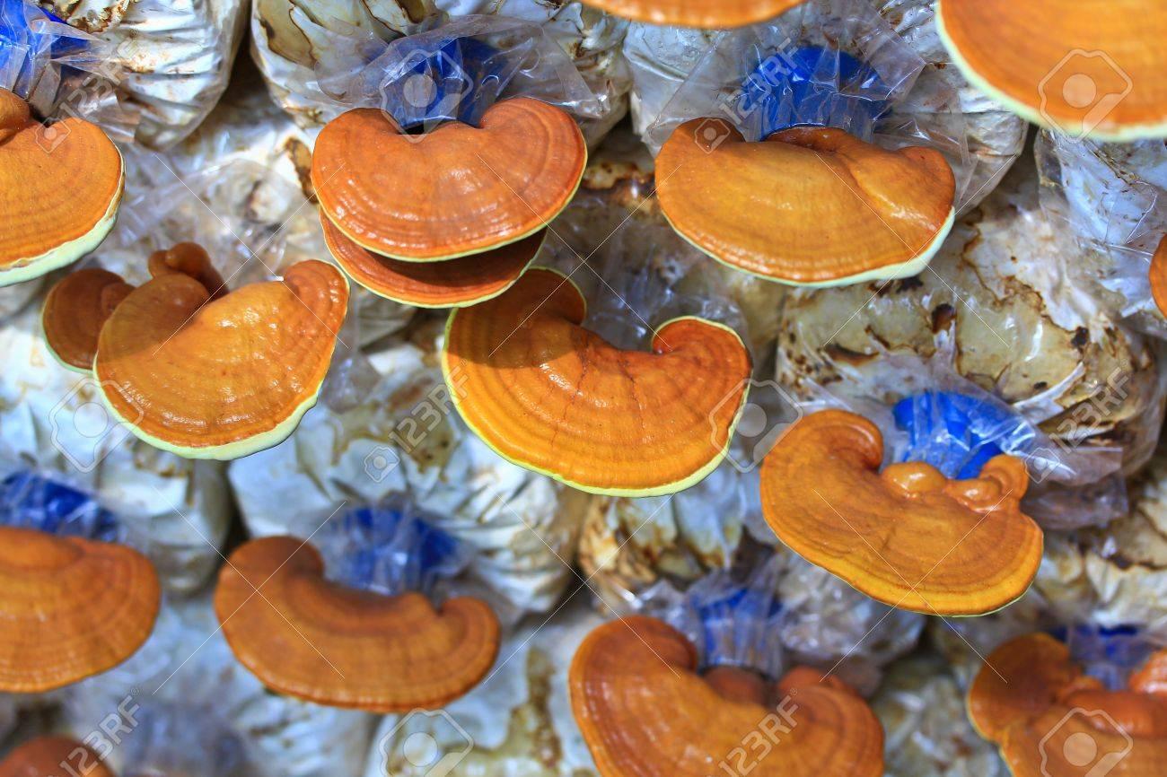 mushroom Ganoderma lucidum in the mushroom farm Stock Photo - 16238474