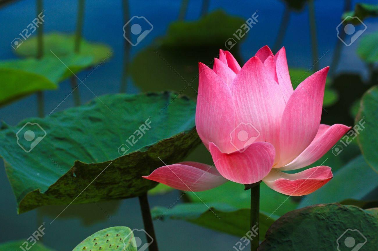 Beautiful lotus pink background - 16283698