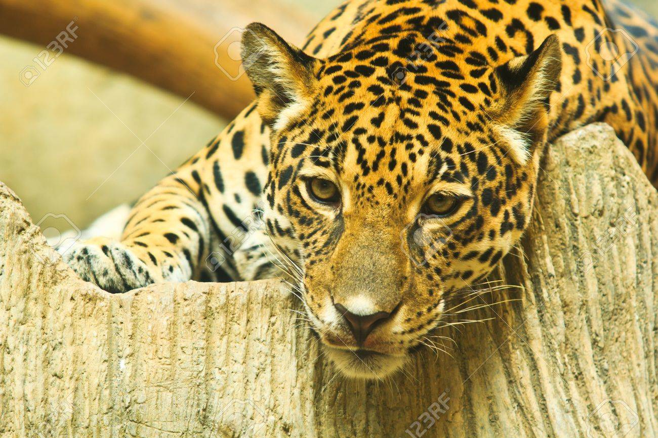 Jaguar And Lived In Central America And South America Stock Photo   22078008