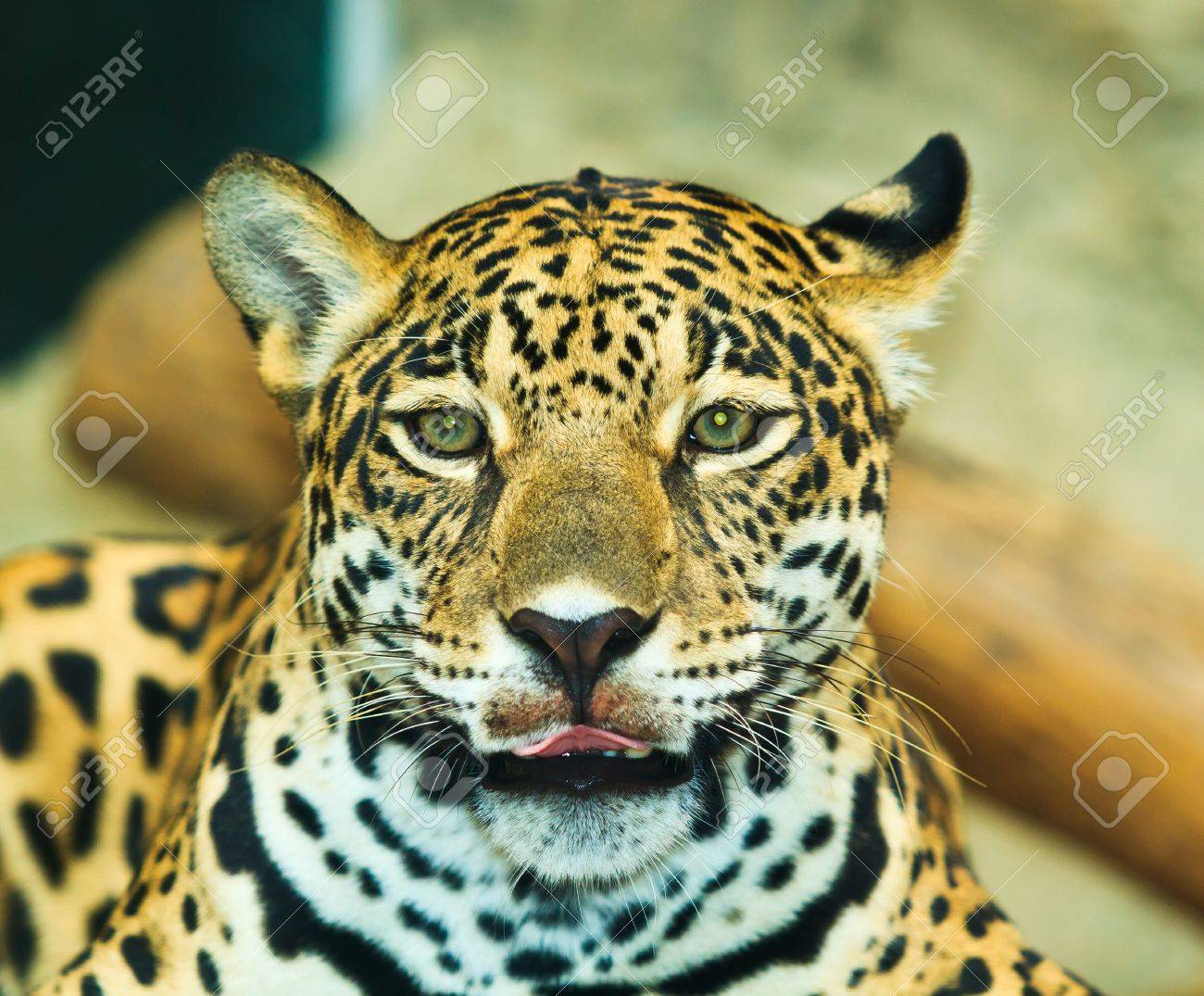 Jaguar And Lived In Central America And South America Stock Photo   22078037