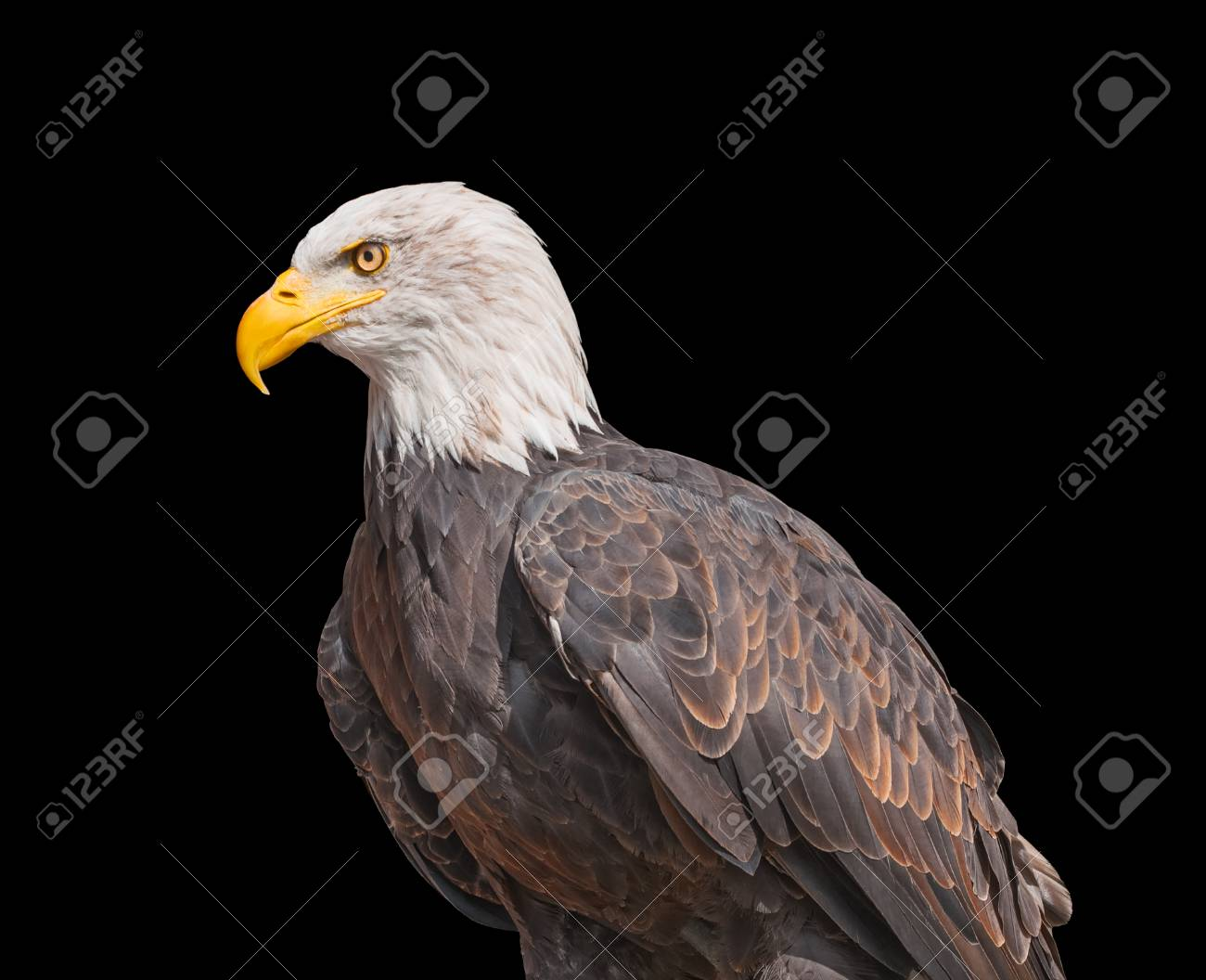 American Bald Eagle Isolated On Black Background North American Stock Photo Picture And Royalty Free Image Image 89105865