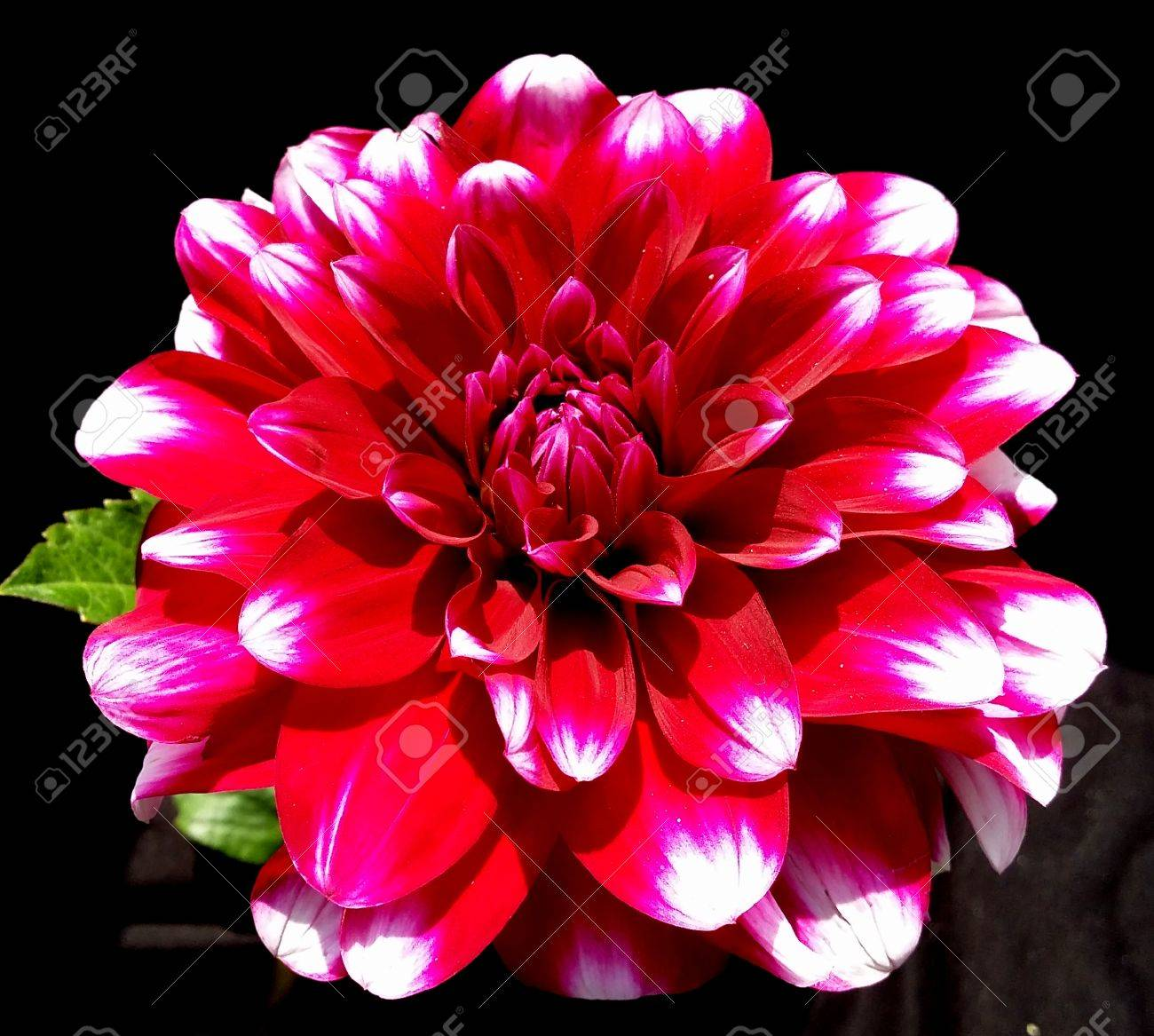 Stunning red dahlia flower on a black background stock photo stock photo stunning red dahlia flower on a black background izmirmasajfo Gallery