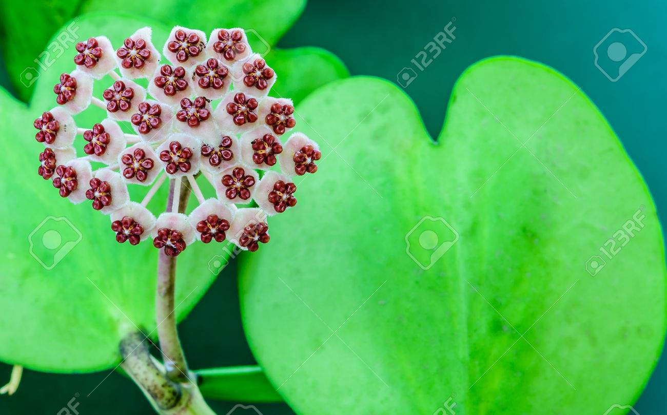 Hoya Carnosa Flowers And Heart Shaped Leaf On Green Background Stock