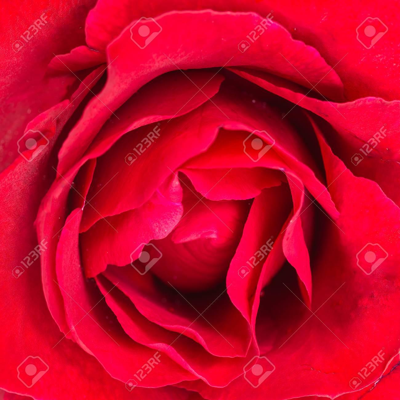 Bella Fine Del Fiore Della Rosa Rossa Su Con Profondità Di Campo