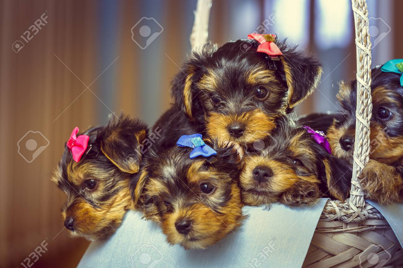 Good Puppies Bow Adorable Dog - 33876301-five-adorable-little-yorkshire-terrier-dog-puppies-with-head-fur-tied-with-colorful-bows-resting-in-  Image_479112  .jpg