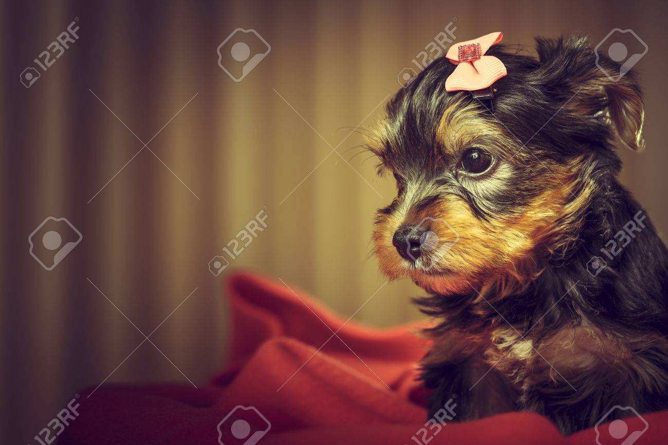 Popular Terrier Bow Adorable Dog - 33876369-portrait-of-adorable-yorkshire-terrier-puppy-dog-with-head-fur-tied-with-pink-bow-looking-aside-whil  HD_842341  .jpg