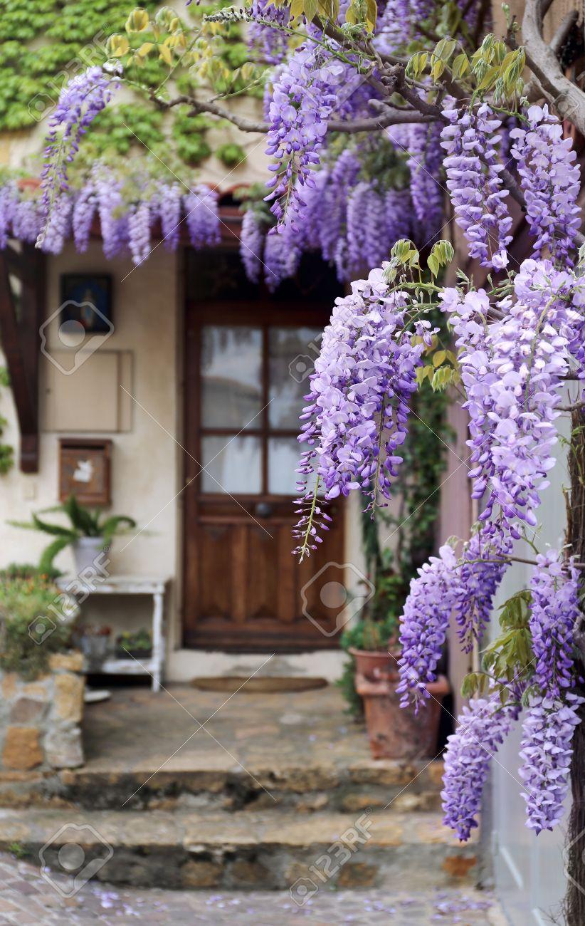 French Village Flowering Purple Wisteria Vine Stock Photo
