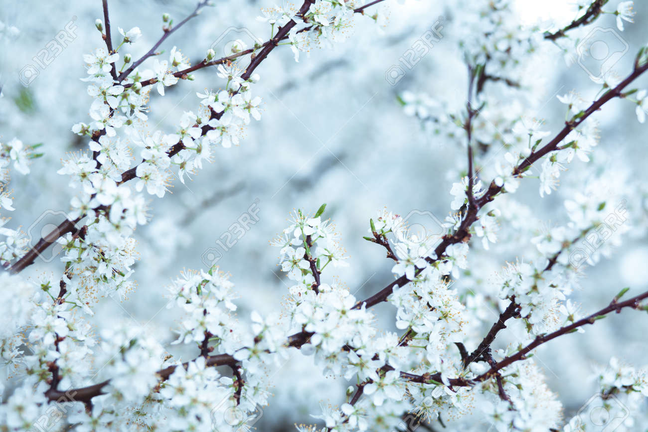 2411fd0dc Cold blue tone cherry blossom background. Soft image with selective focus  Stock Photo - 9515235