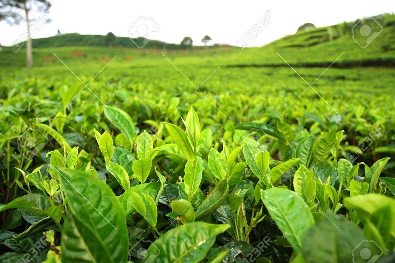 Field of tea plantation Stock Photo - 12156642