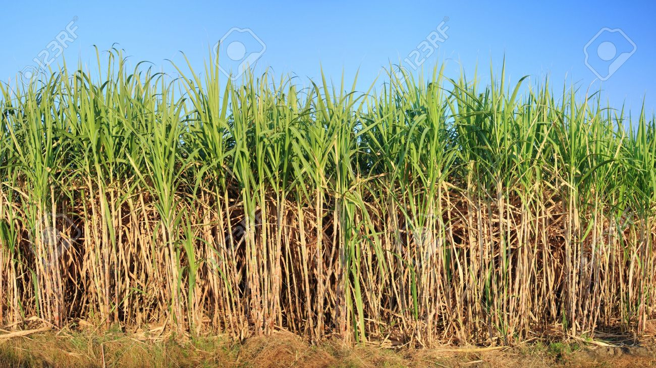 sugar plantation layout