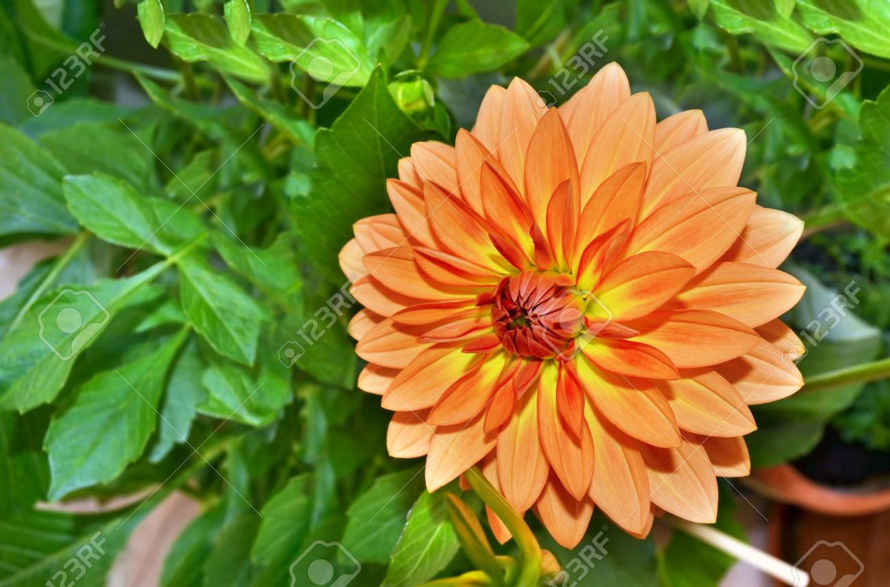 Orange Dahlia Flower Stock Photo Picture And Royalty Free Image