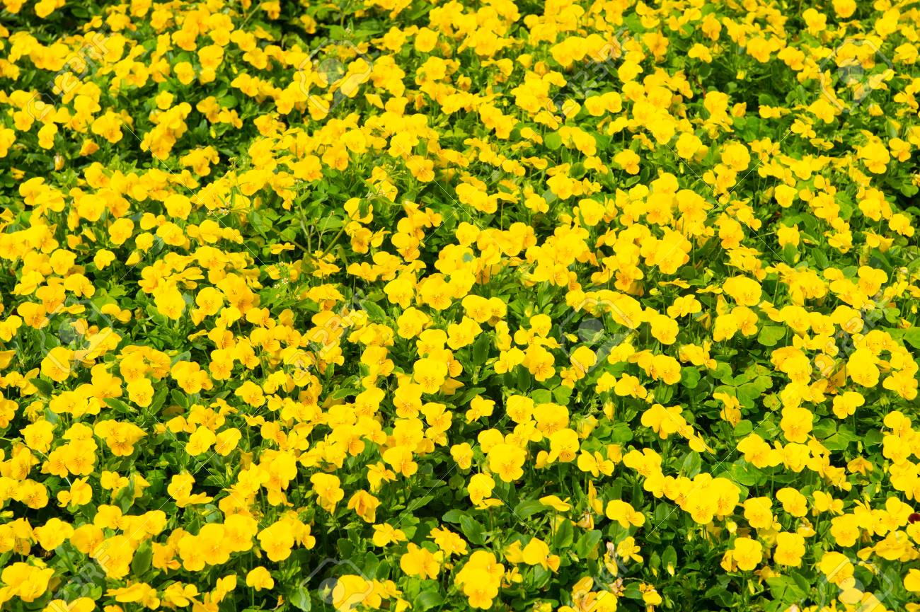 Spring Or Summer Yellow Pansies With Green Leaves In Hamilton