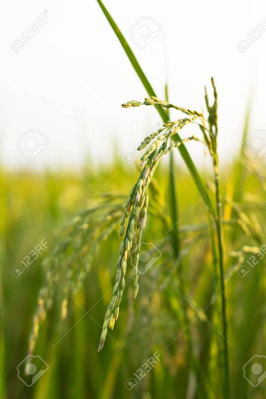 Rice field Stock Photo - 14388692