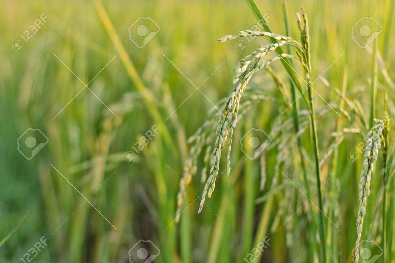 Rice field Stock Photo - 14388693