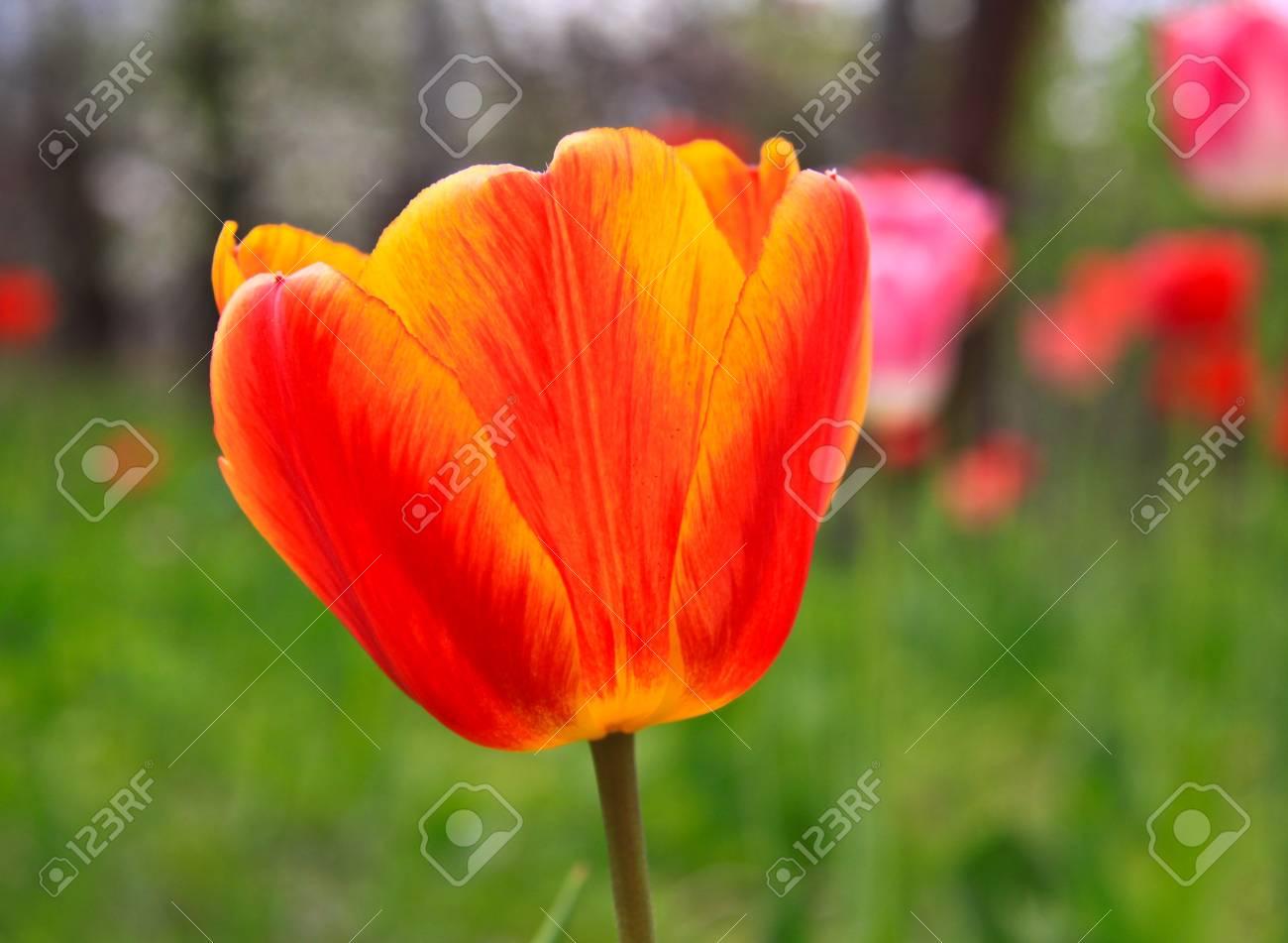 The tulip Stock Photo - 12751596