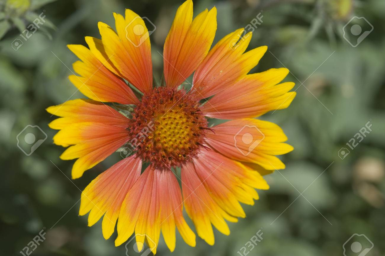 A Single Bloom Of The Common Blanket Flower Gaillardia Grandiflora