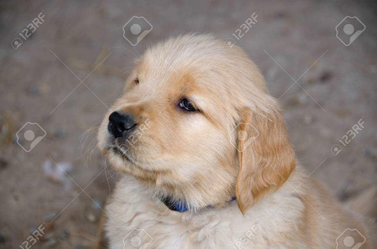 A Six Week Old Golden Retriever Puppy Looks Past The Camera