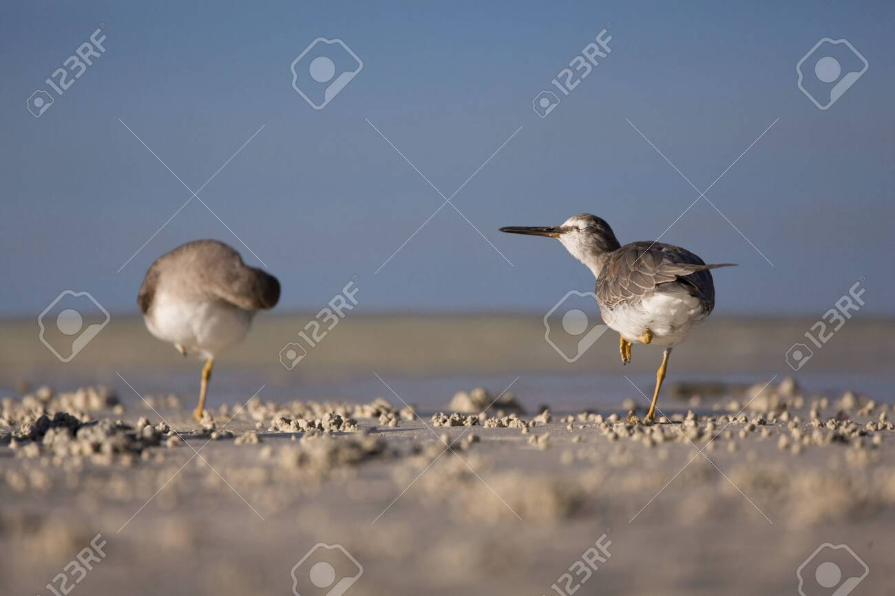 Sandpiper Birds At The Seashore Feathering And Foraging In A