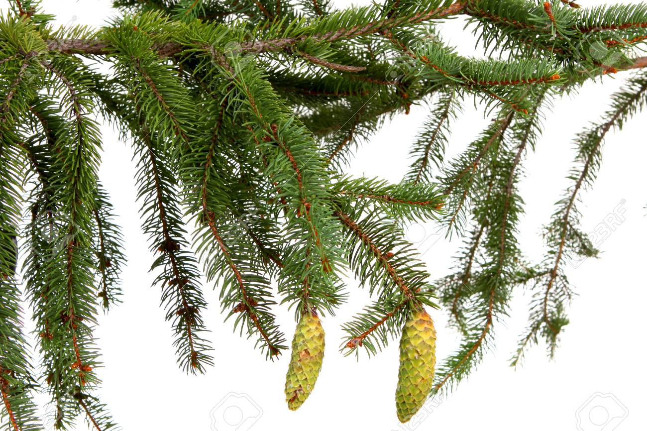 Bare branch of Christmas fir tree ready to decorate on white Stock Photo - 27565645