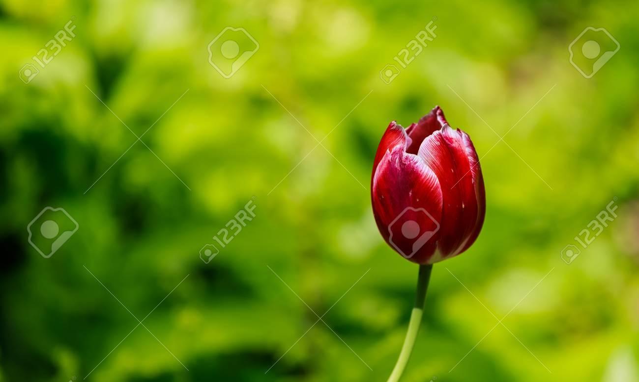 Lampada Fiore Tulipano : Il tulipano è una pianta bulbosa perenne con fiori vistosi in genere