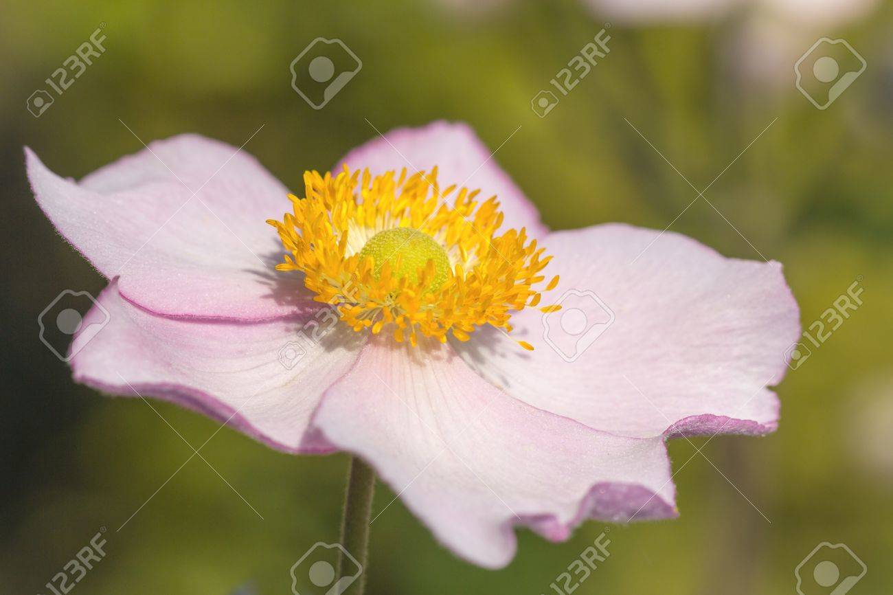 Pink anemone flower with a yellow heart stock photo picture and pink anemone flower with a yellow heart stock photo 32138811 mightylinksfo