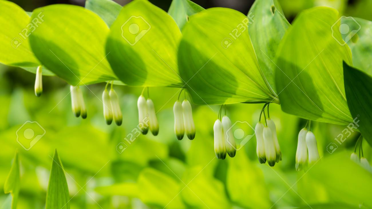 Close Up Polygonatum Or King Solomons Seal With Little White Stock