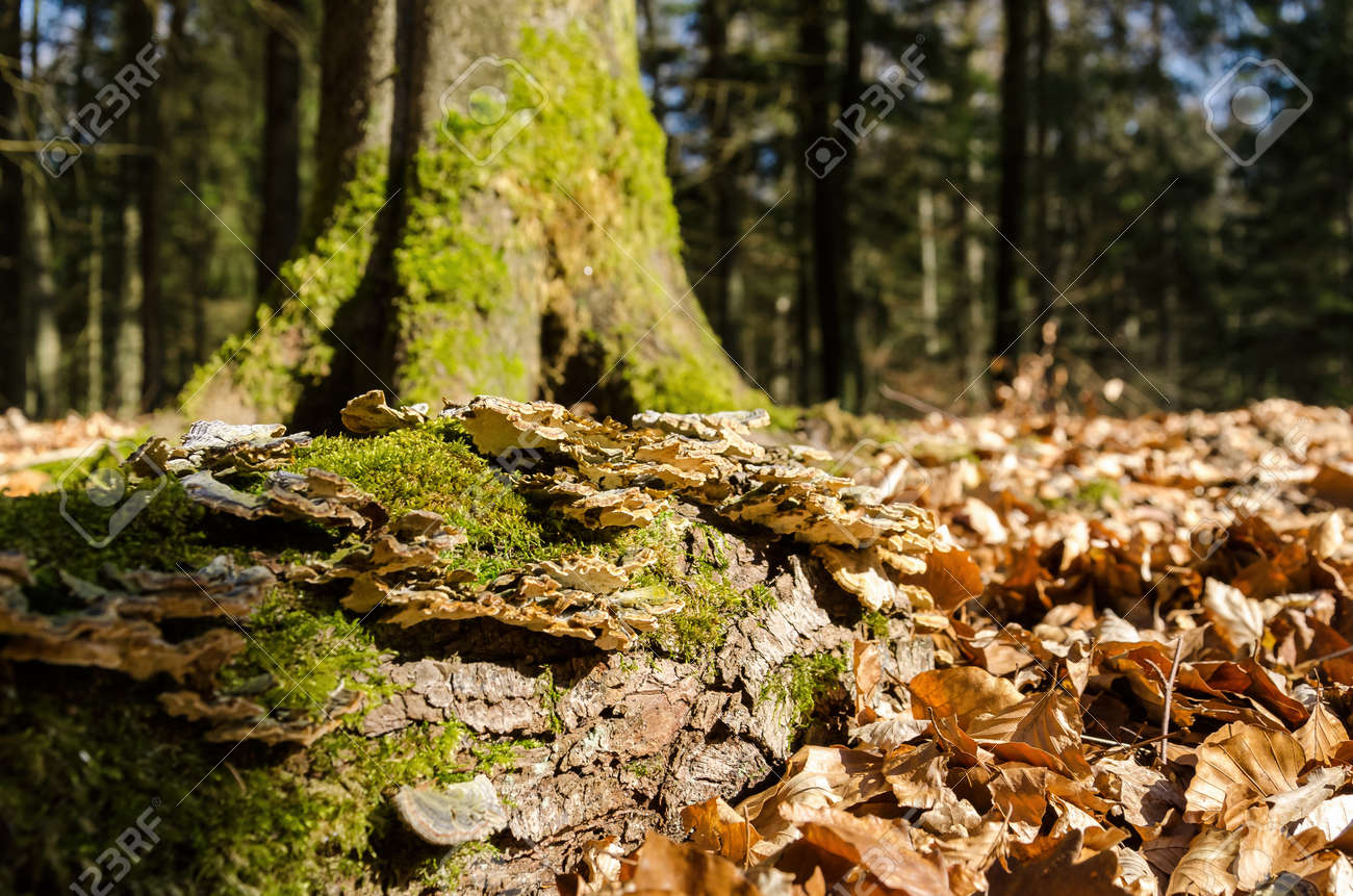 FOREST IN THE MORNING SUN - Hubs on a fallen tree trunk among dry leaves - 168477647