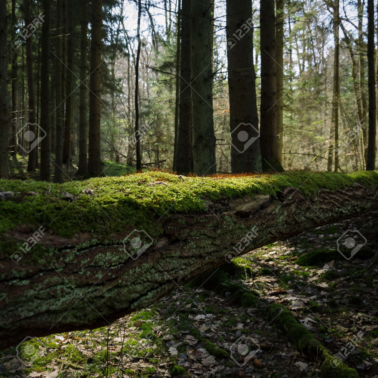 FOREST IN THE MORNING SUN - Blooming moss on a fallen tree - 168477659