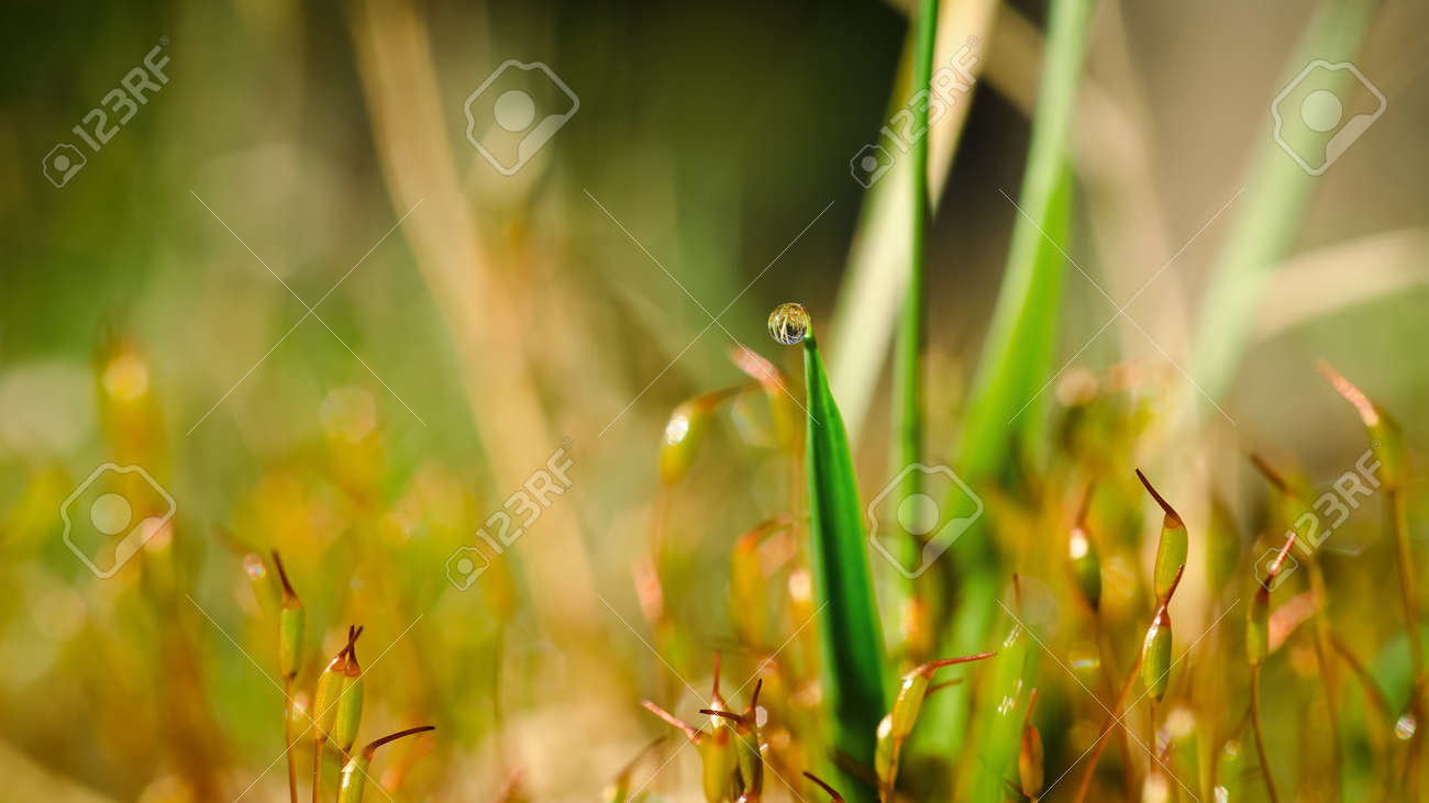 BLOOMING MOSS AND DEW DROP ON GRASS -Spring in a forest clearing in the sunshine - 168477658