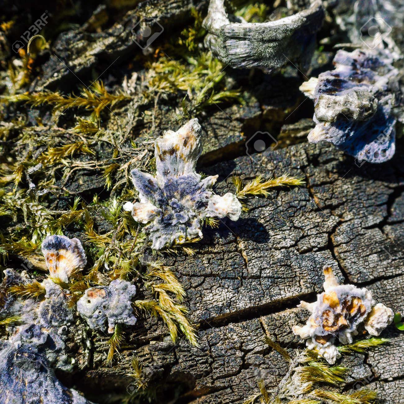 HUBS - Mushrooms on a dead tree trunk - 169541044