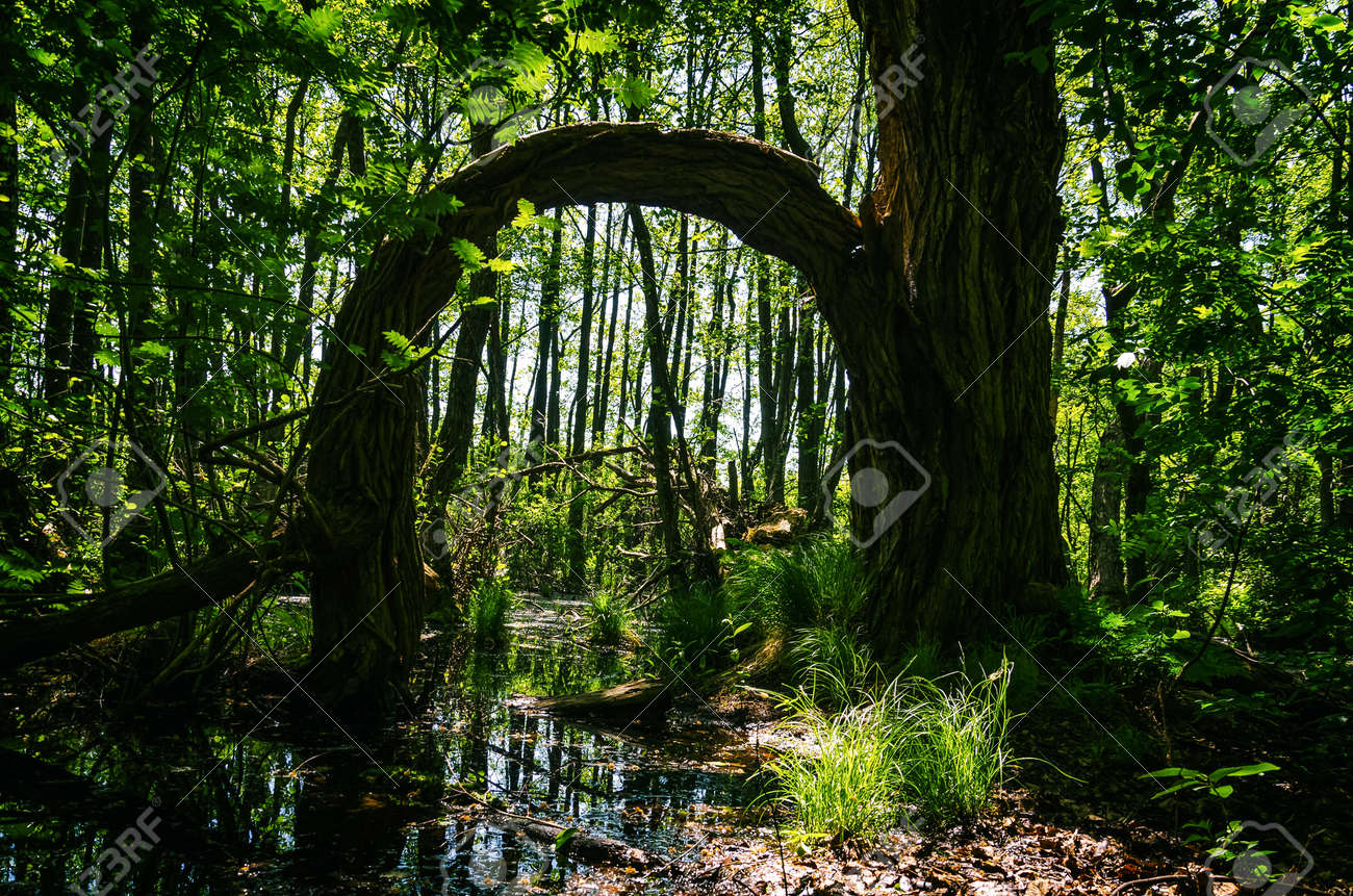 MORASS - A wild wetland area and an old tree - 171410766