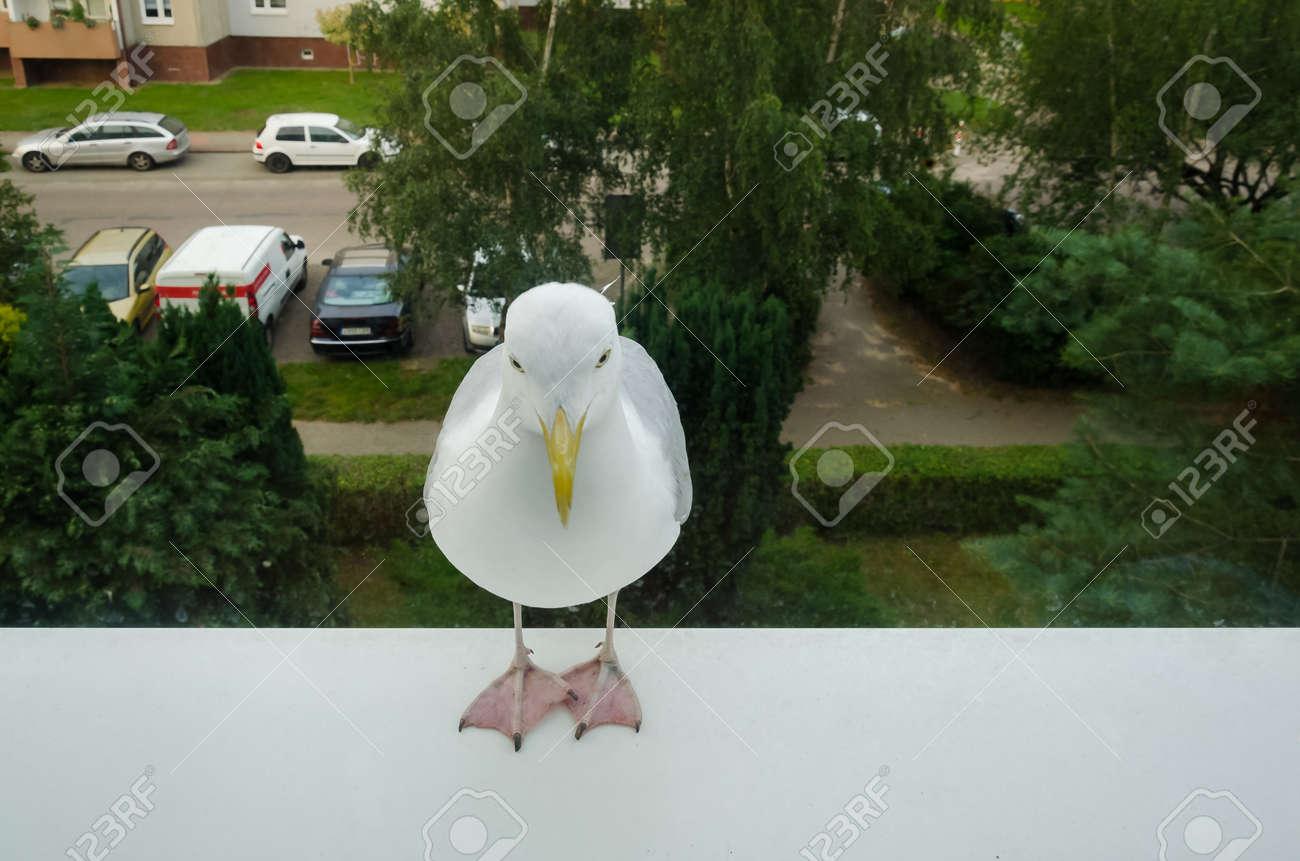 SEAGULL - White bird on the window sill - 171821122
