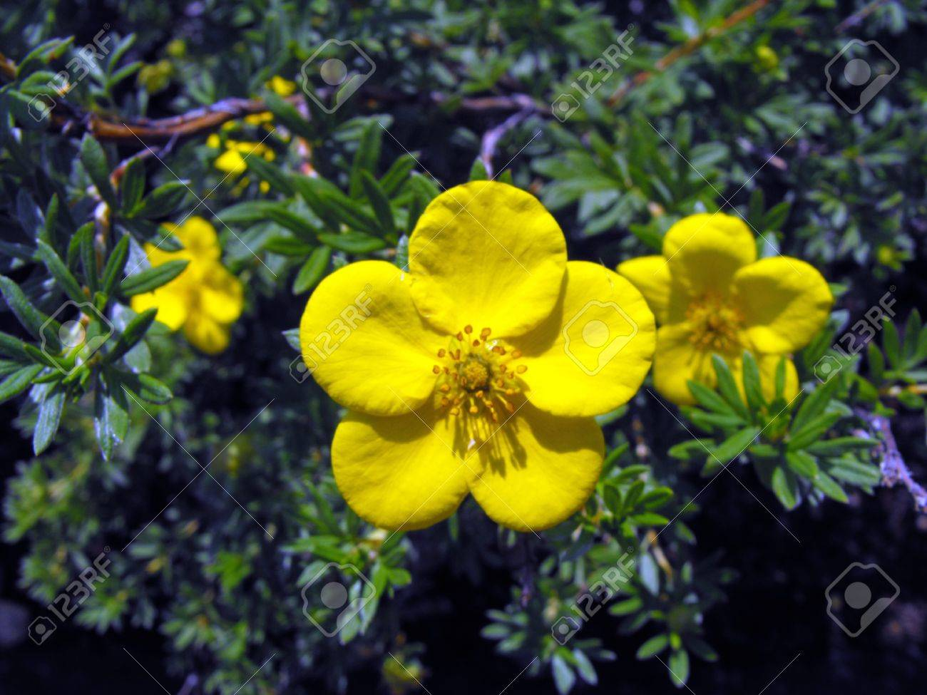 Yellow Flowering Bush Stock Photo Picture And Royalty Free Image