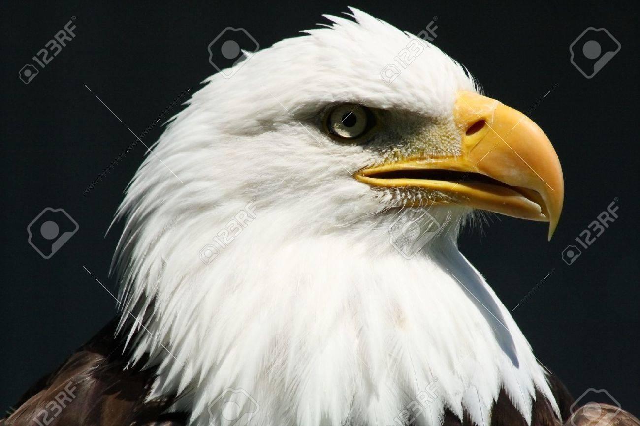 Bald Eagle @ Birds of Prey Center Stock Photo - 10119343
