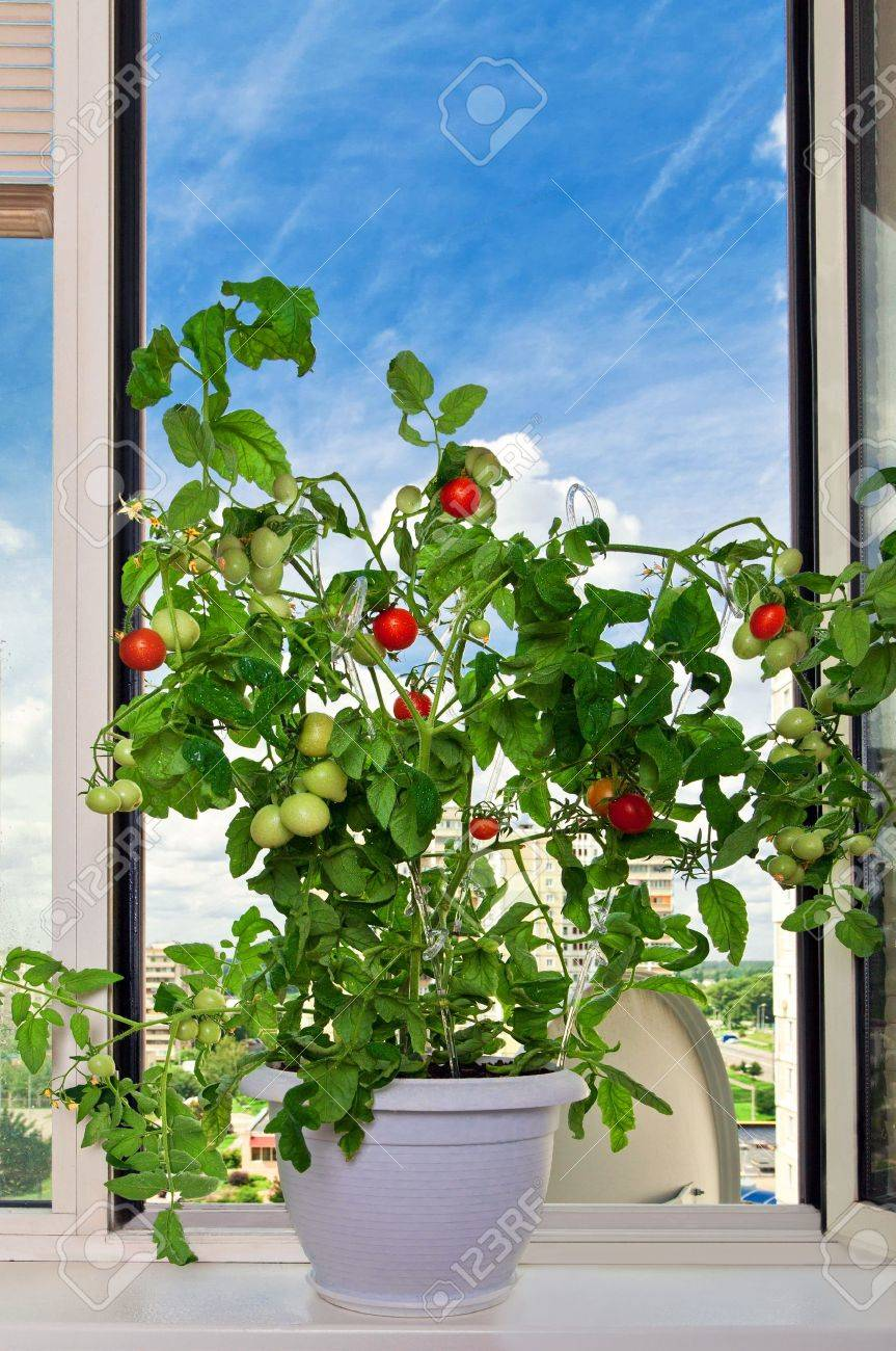 Tomato bush in white pot blue sky as background - 11235781