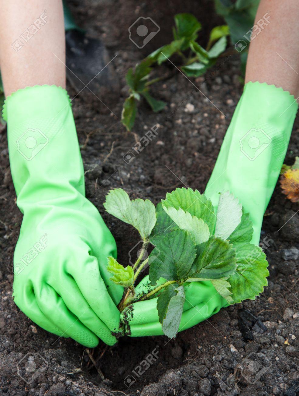 Woman wearing gloves closeup planting strawberry seedlings - 14978439