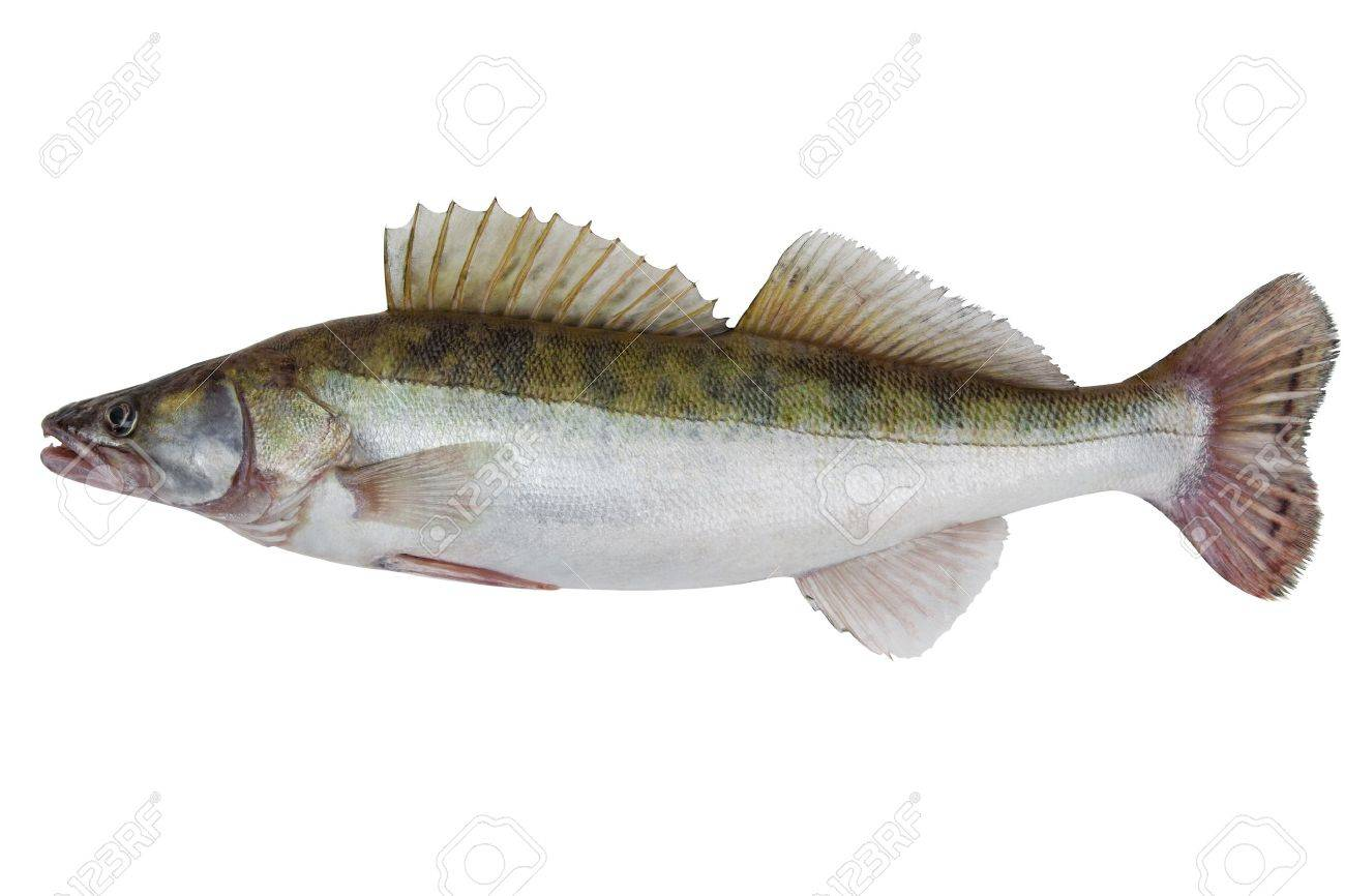 Large fresh pike perch isolated on a white background Standard-Bild - 16025509