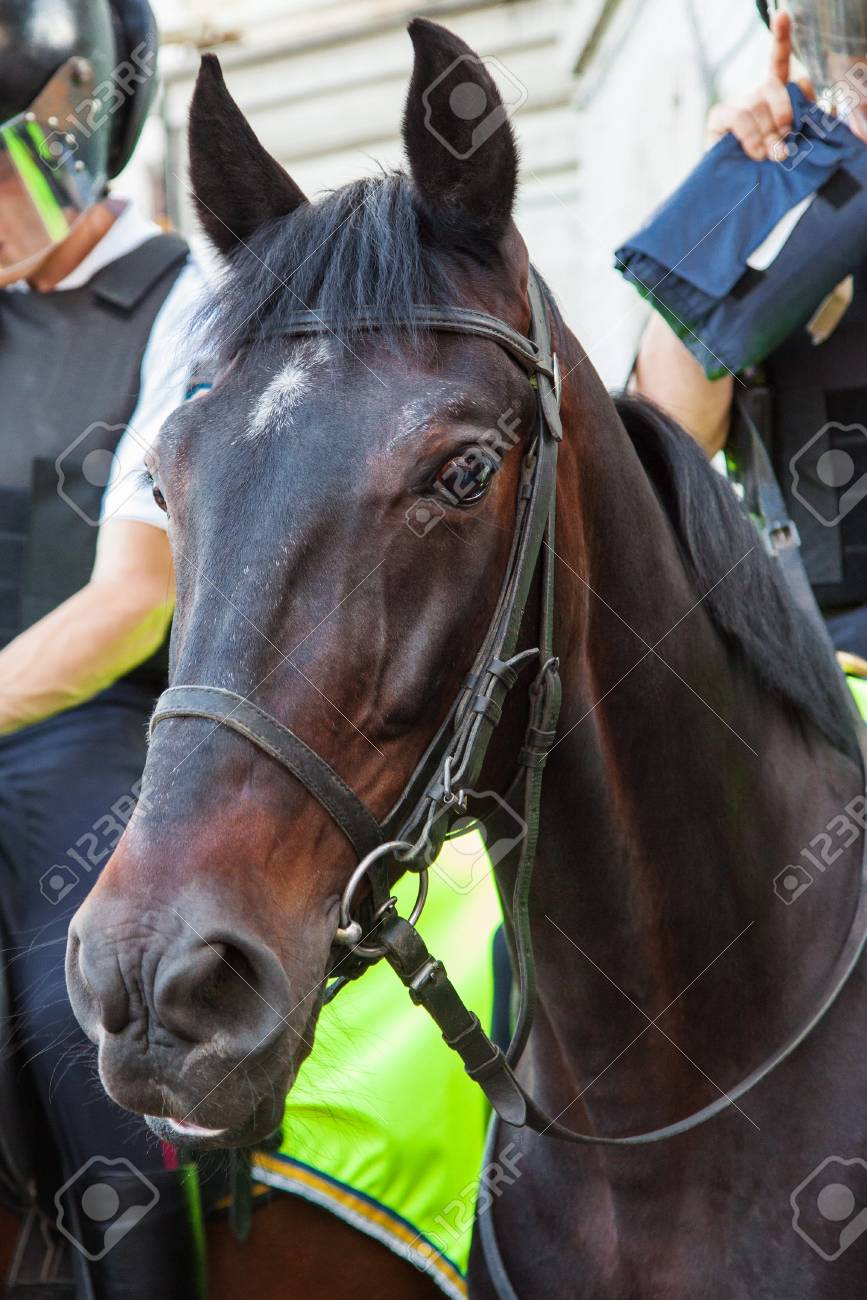 Dark Bay Horse Mounted Police Close Up Portrait Stock Photo Picture And Royalty Free Image Image 17831273
