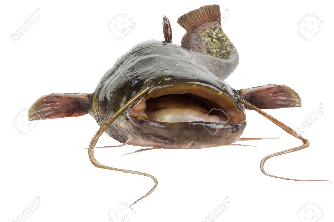 Big river catfish close up, isolated on white background Stock Photo - 18124124