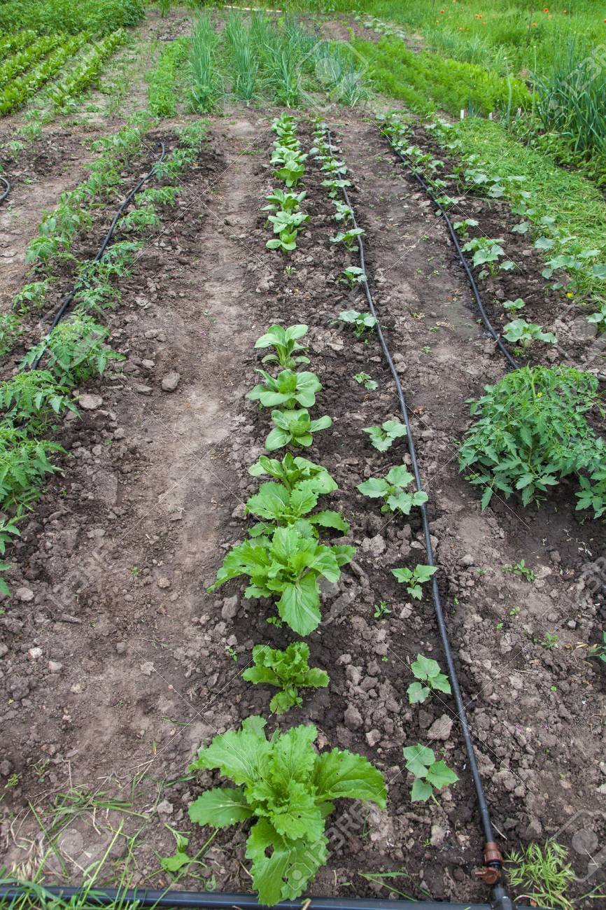 seedling vegetable beds with drip irrigation system